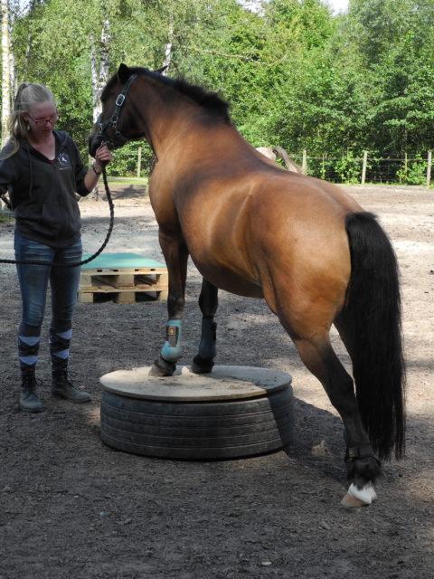 Die Pferdegrunschule Podest Zirzensik