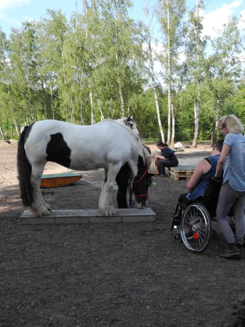 Die Pferde Grundschule Tinkerstute Joy auf dem Catwalk